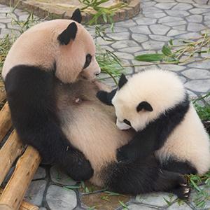 「パンダ」が15位、上野動物園のシンシンが2頭の赤ちゃん出産で注目度高まる<注目テーマ>